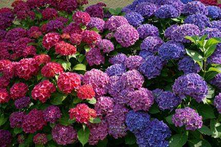 Tipos de hortensias flores