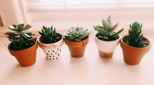 como plantar suculentas en tazas