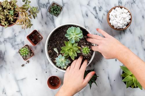 Como plantar suculentas