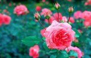Cómo plantar y cultivar rosas