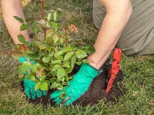 como sembrar rosas en casa