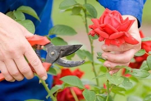 como sembrar rosas de tallos
