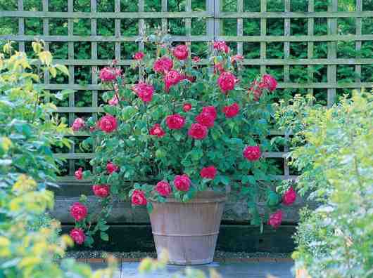 como sembrar rosas de semillas