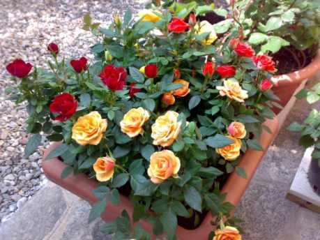 como sembrar rosas por semillas