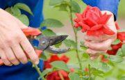 Cómo y cuando podar rosas