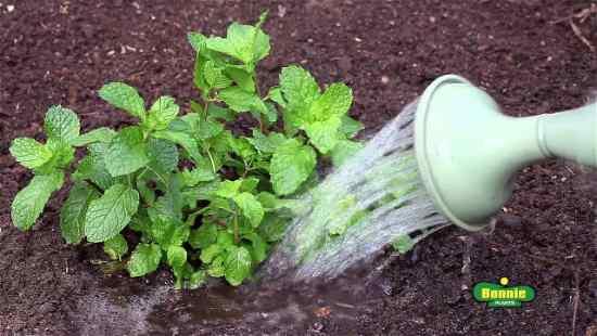 Cómo sembrar hierbabuena por semilla