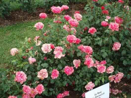 reproduccion podar rosas