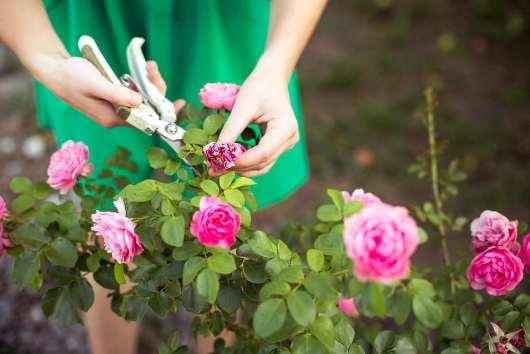 poda de rosales viejos
