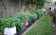 Cómo sembrar hierbabuena
