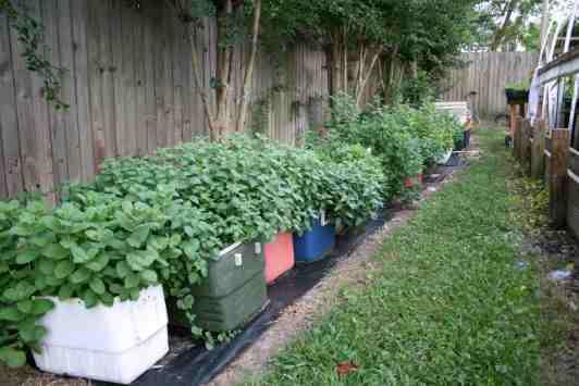 Como sembrar hierba buena