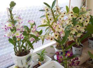 sembrar orquideas en macetas