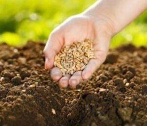 como cultivar manzanilla en casa