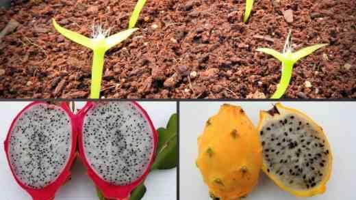 como sembrar la pitahaya