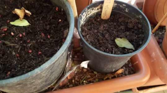 como germinar una semilla de durazno