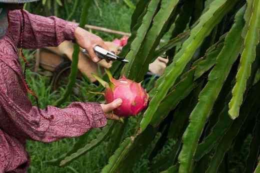 como sembrar pitahaya mexicana