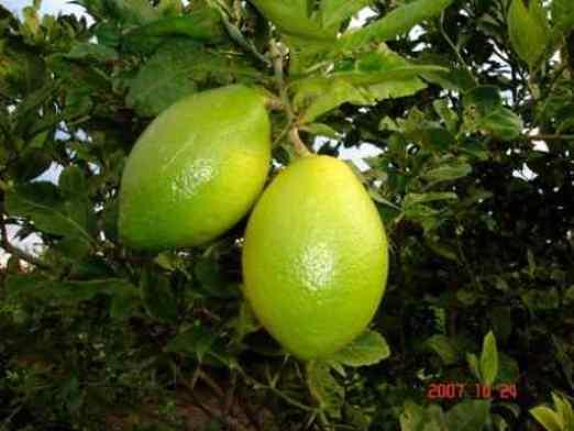 limon sin semillas